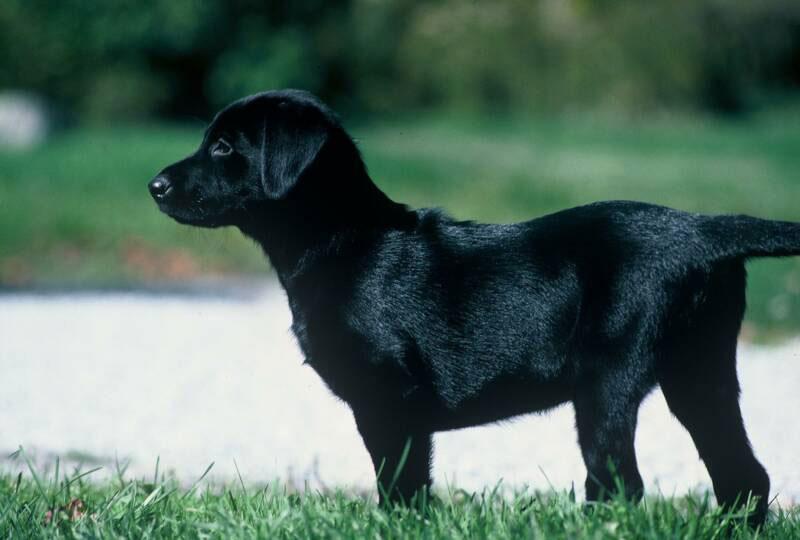 Labrador Retriever Puppy Training